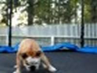 Bulldog på Trampolin